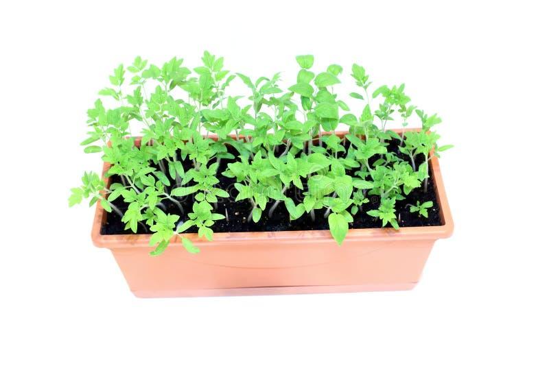 Piantine del pomodoro delle plantule in vaso da fiori isolato immagine stock libera da diritti