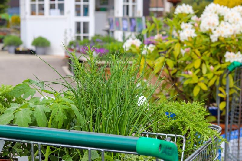 Piantine delle verdure in carrello del negozio Comperando al Garden Center fotografia stock