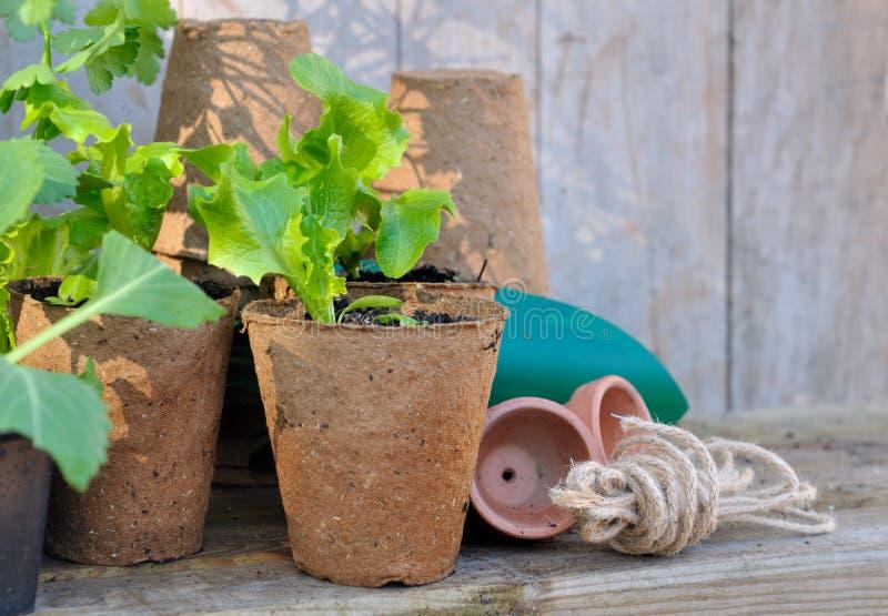 Piantine di verdure in secchi fotografie stock libere da diritti