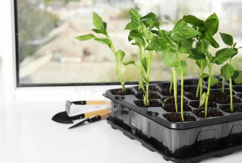 Piantine e strumenti di giardino di verdure sul davanzale della finestra immagine stock