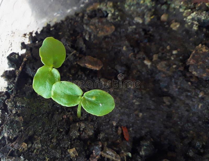 Piantine molto giovani di passiflora edulis, specie di una vite di frutta comune del fiore di passione di passione o Gulupa, macr fotografie stock libere da diritti