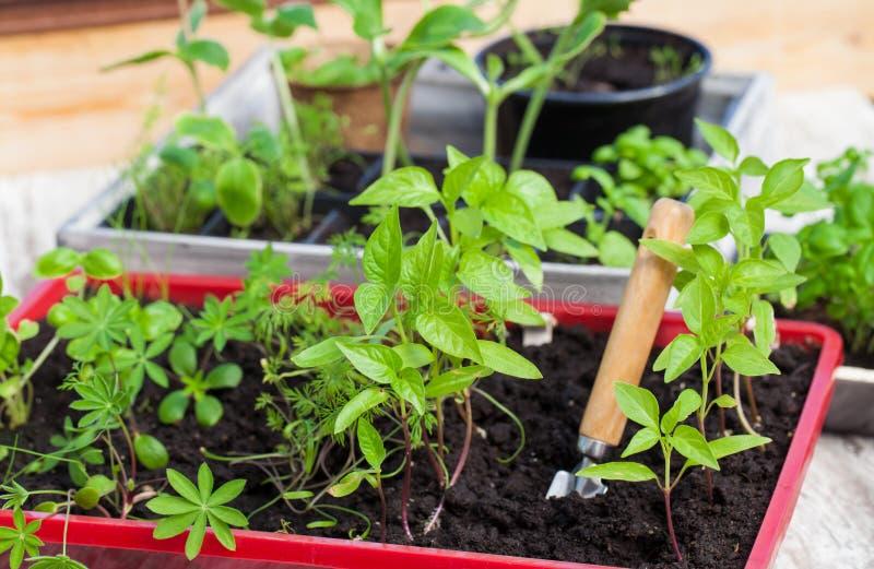 Piantine, piantine, coltivazione delle piante fotografia stock
