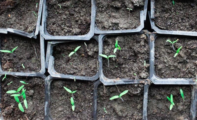 Piantine in vasi a casa Piantine in anticipo sviluppate dai semi in scatole a casa sul windowsil Semenzale verde che cresce dal t fotografie stock libere da diritti