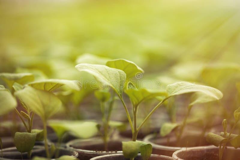 Piantine verdi sviluppate in una fila in serra fotografia stock