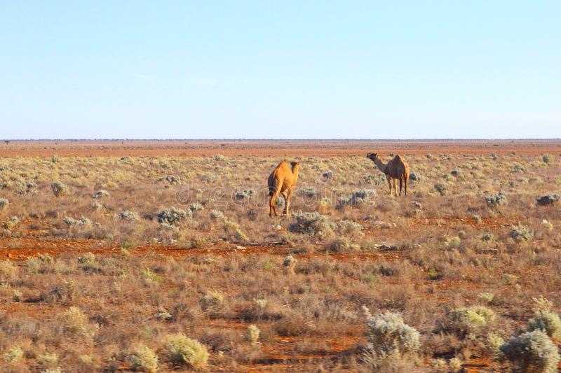 Pianura selvaggia di Nullarbor dei cammelli, Australia immagini stock libere da diritti