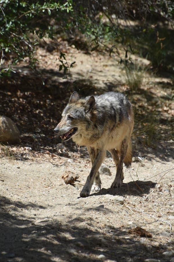 Pianure Wolf Walking Through Scrub sulla tundra fotografia stock