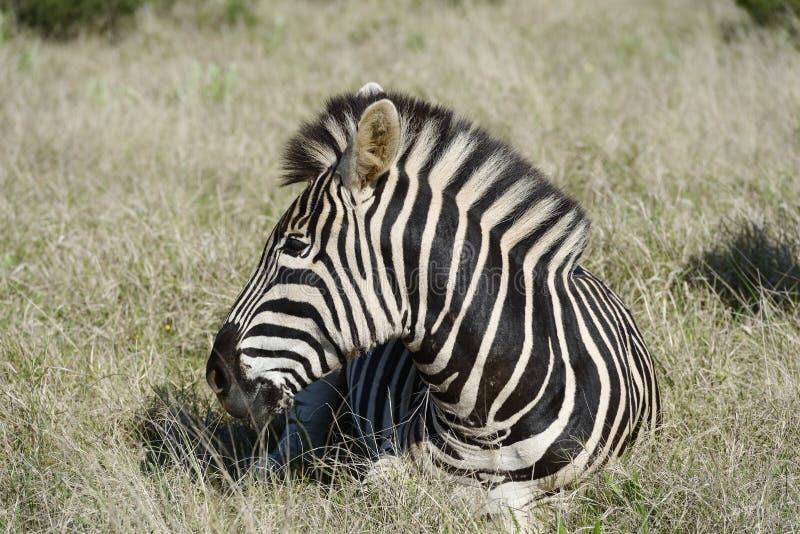 Pianure zebra, Addo Elephant National Park immagine stock
