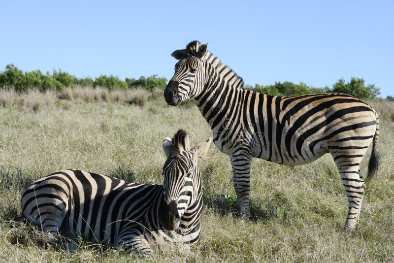 Pianure zebra, Addo Elephant National Park fotografia stock