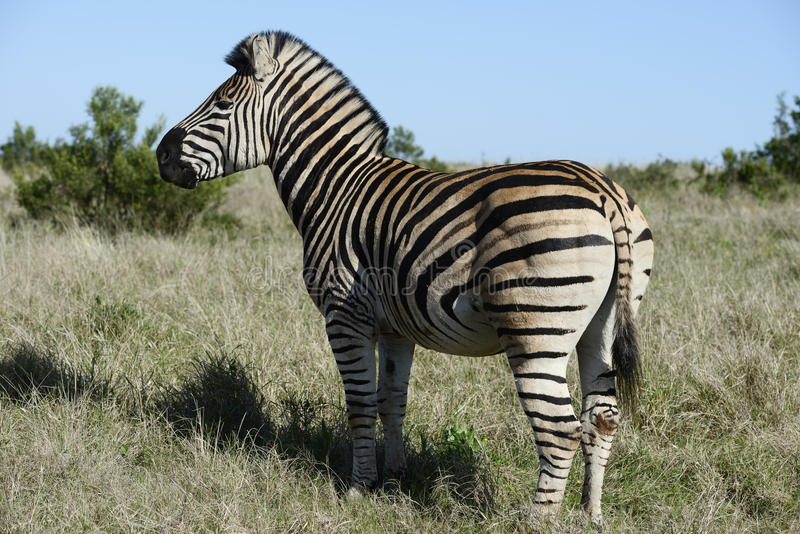 Pianure zebra, Addo Elephant National Park fotografia stock libera da diritti