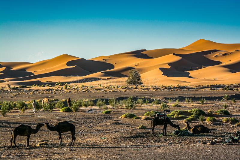 Piasek diun erg Chebbi z wielbłądami blisko Merzouga w Maroko obrazy stock