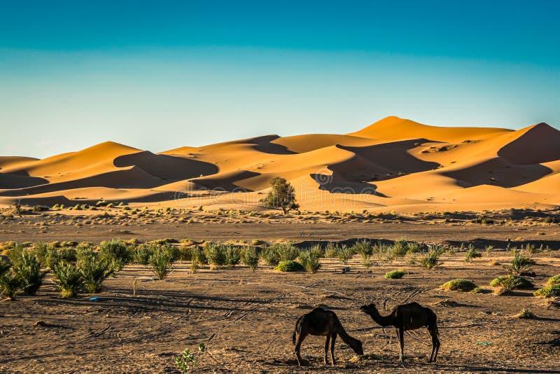 Piasek diun erg Chebbi z wielbłądami blisko Merzouga w Maroko zdjęcia royalty free