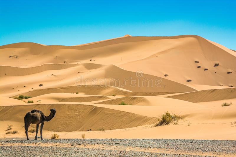 Piasek diun erg Chebbi z wielbłądem blisko Merzouga w Maroko fotografia royalty free