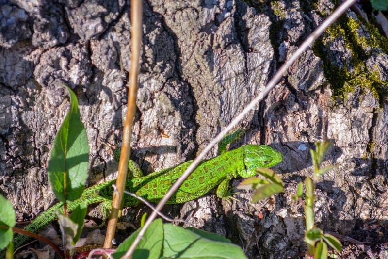 Piasek jaszczurki Lacerta agilis, kotelnia sezonu koloryt fotografia royalty free