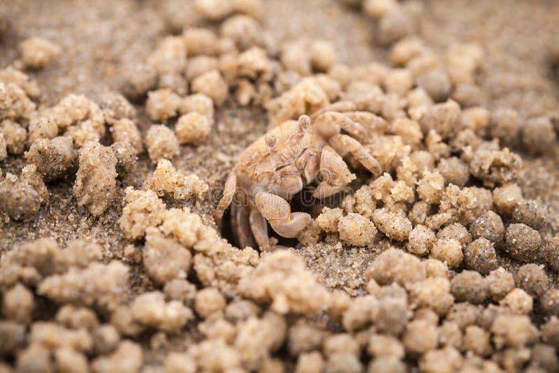 Piaska bubbler krab lub bubbler makro-, zdjęcie stock