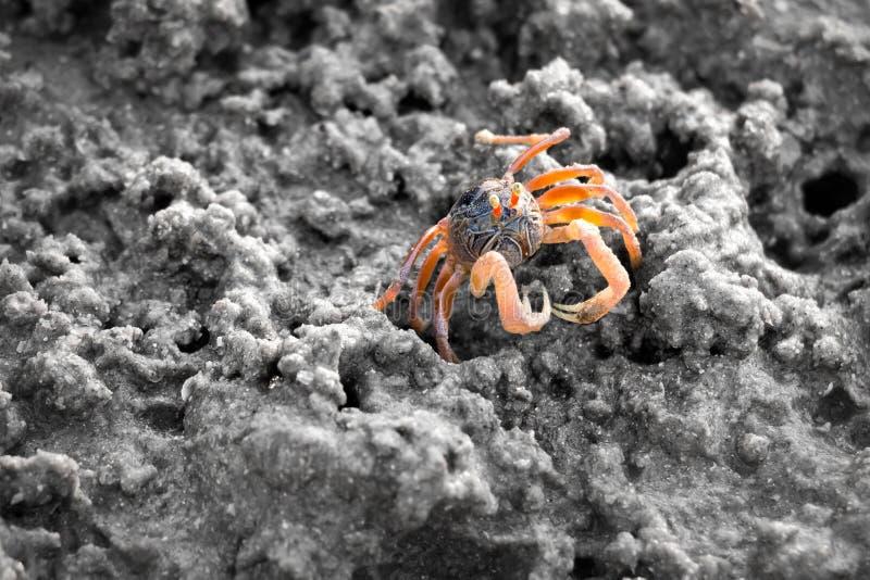 Piaska bubbler krab na piasku podczas niskiej wody obraz royalty free