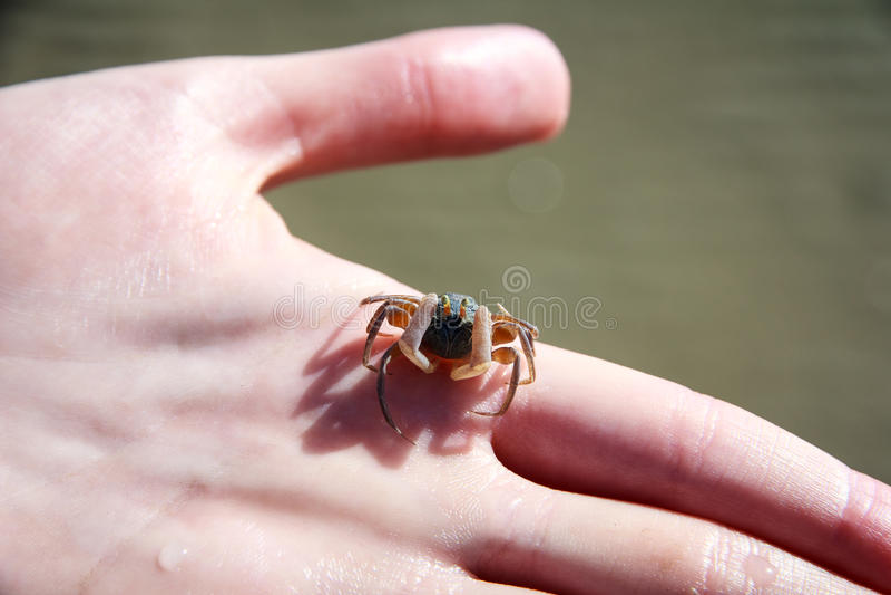 Piaska Bubbler kraba Scopimera globosa na ręce obraz royalty free