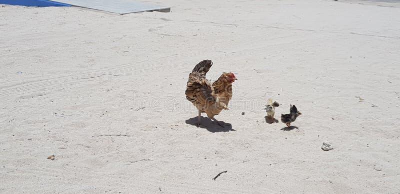 Piaska kurczak 2 obrazy royalty free