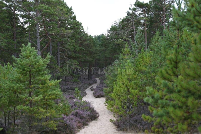 Piaskowata ścieżka przez Culbin lasu, murena, Szkocja obraz royalty free