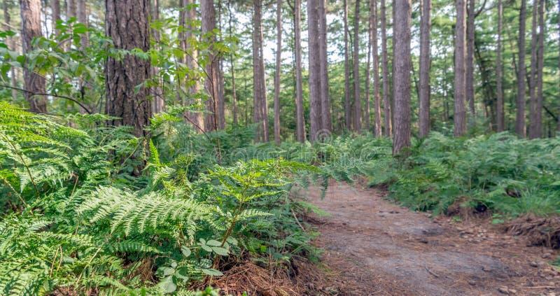 Piaskowata ścieżka w lesie z scots paproci roślinami i sosnami obraz stock