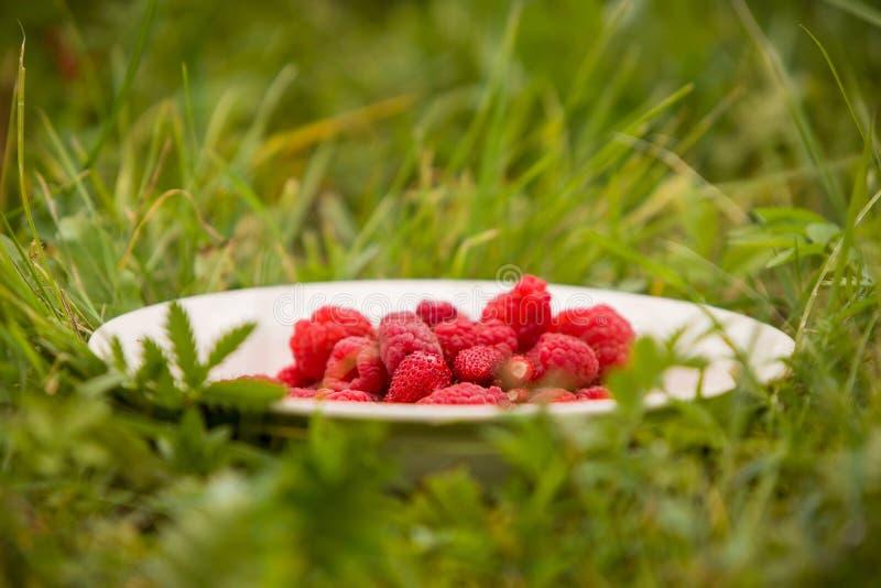 Piatto bianco in pieno dei lamponi organici sul fondo dell'erba verde Spuntino di estate Bacche deliziose come alimento di estate immagini stock