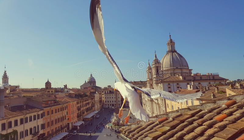 Piazza Navona and seagull in flight royalty free stock images