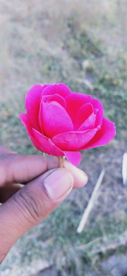 Pic Роза прекрасный стоковые фотографии rf