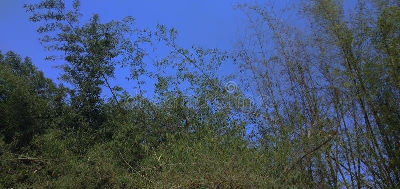 PIC en bambou d'arbre image libre de droits