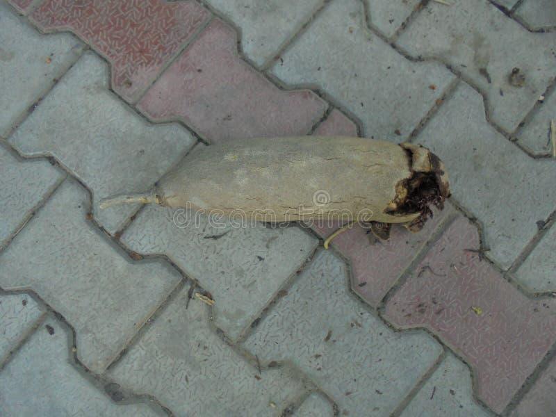 PIC fraîche de grande graine sur le plancher photographie stock libre de droits