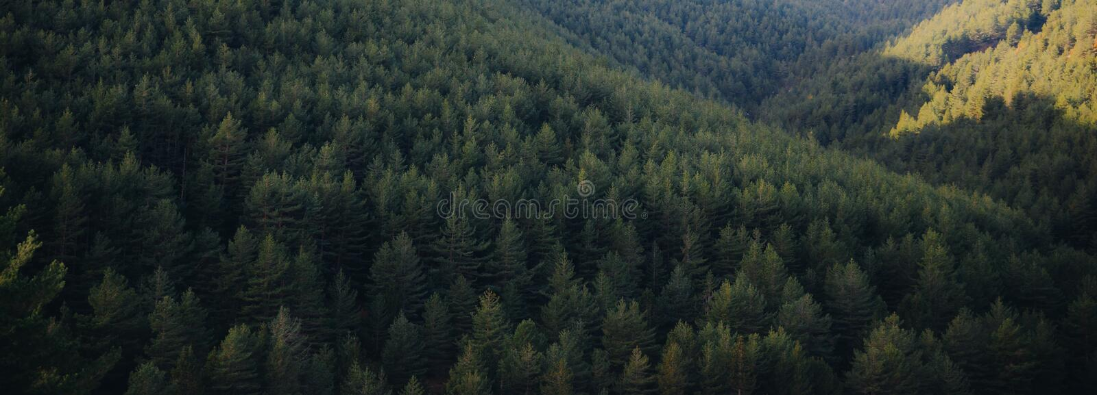 Panoramic landscape of pine tree forest stock images