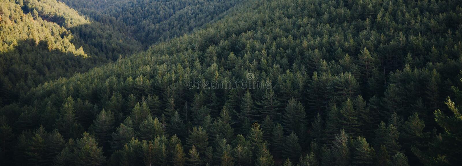 Panoramic landscape of pine tree forest stock photo