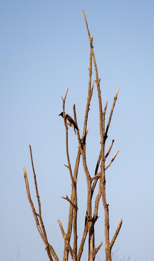 Pica eurasiática de la pica de la urraca en árbol foto de archivo libre de regalías