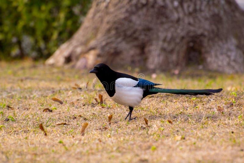Pica euroasiatico con il pulcino in becco, profilo di pica della gazza Uccello nella corvidae della famiglia del corvo con la pre immagine stock libera da diritti