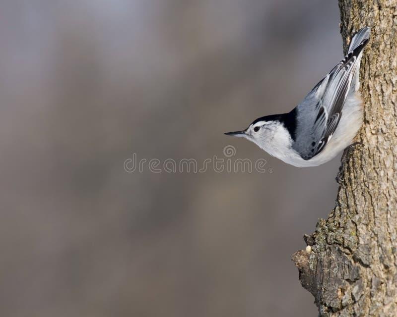 Pica-pau-cinzento Branco-breasted foto de stock royalty free