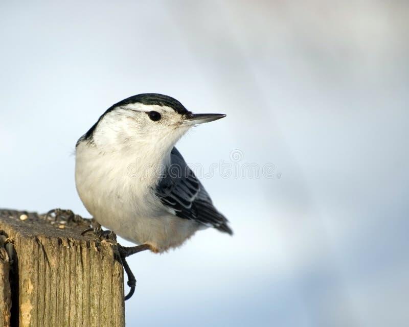 Pica-pau-cinzento Branco-breasted fotografia de stock royalty free
