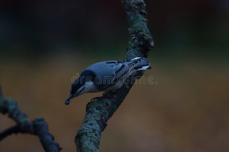 Pica-pau-cinzento branco de Breasted fotos de stock