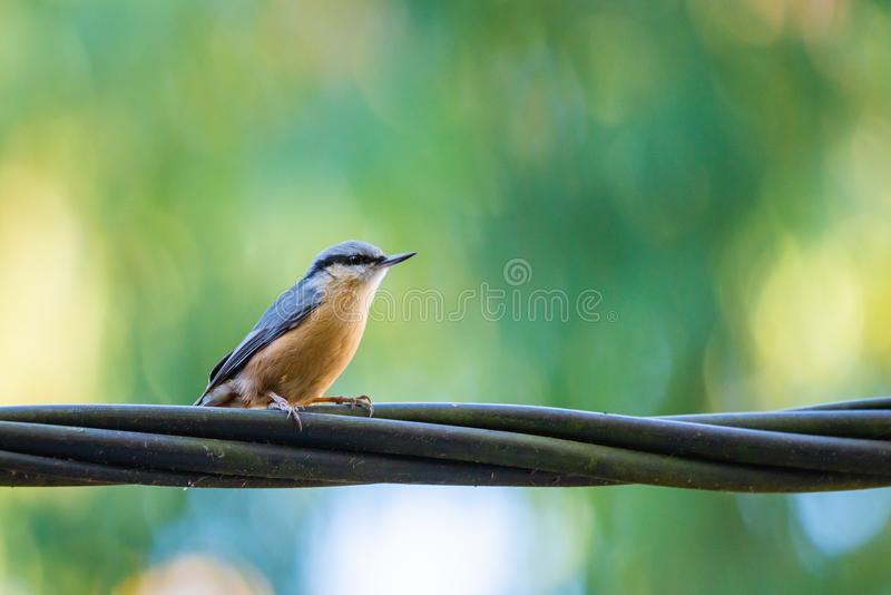 Pica-pau-cinzento - pássaro de Sitta Canadensis no fio da linha elétrica fotografia de stock royalty free