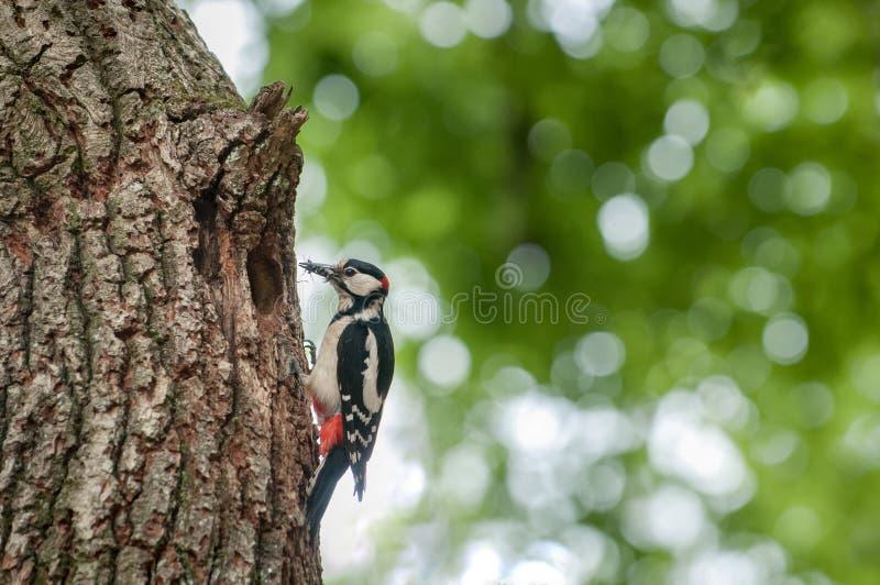 Pica-pau de Spottet que alimenta seus pintainhos na caverna da árvore imagem de stock