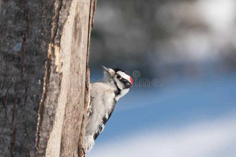 Pica-pau fofo masculino em uma árvore no inverno imagem de stock royalty free