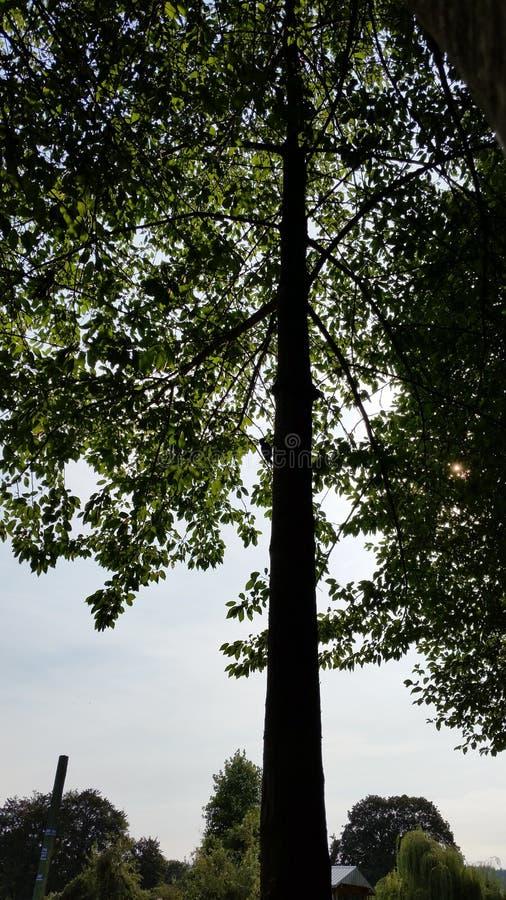 Pica-pau na silhueta da árvore fotos de stock royalty free