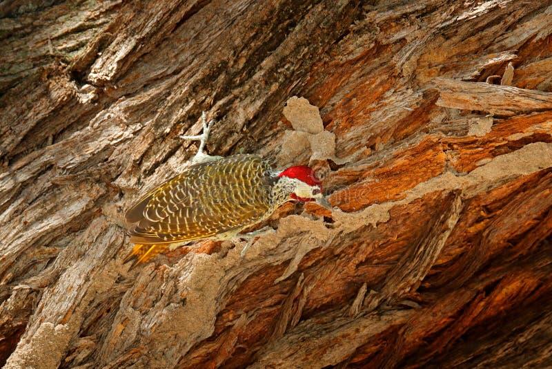 pica-pau Salpico-throated, scriptoricauda de Campethera, no tronco de árvore, habitat da natureza Animais selvagens de Botswana P foto de stock