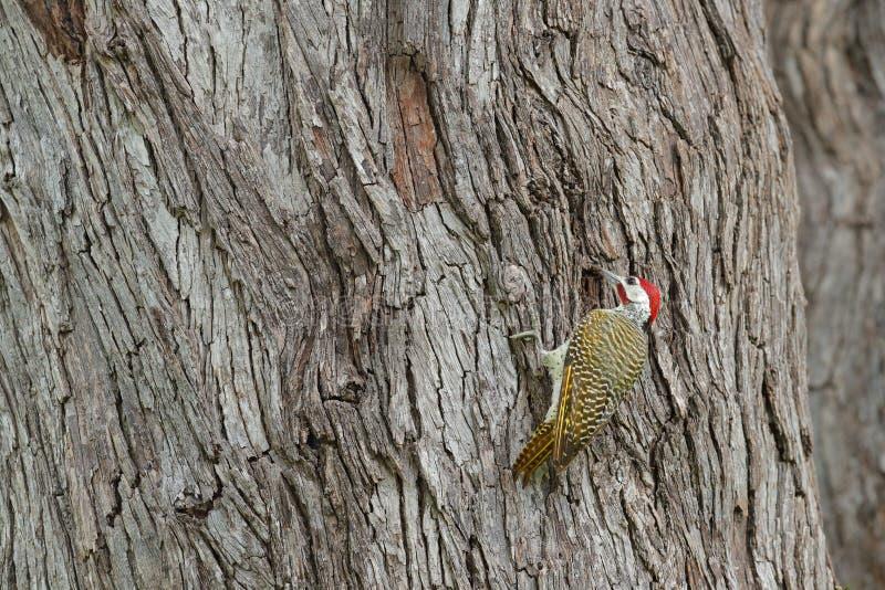 pica-pau Salpico-throated, scriptoricauda de Campethera, no tronco de árvore, habitat da natureza Animais selvagens de Botswana P imagens de stock