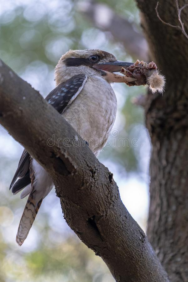 Pica-peixe em uma árvore que come o alimento imagem de stock