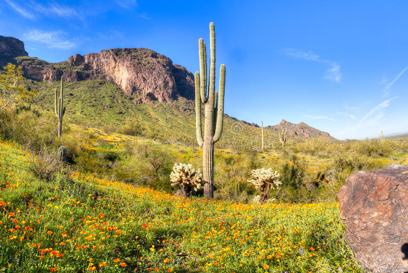 Picacho Peak State Park. Blooming Poppies at Picacho Peak State Park royalty free stock photo