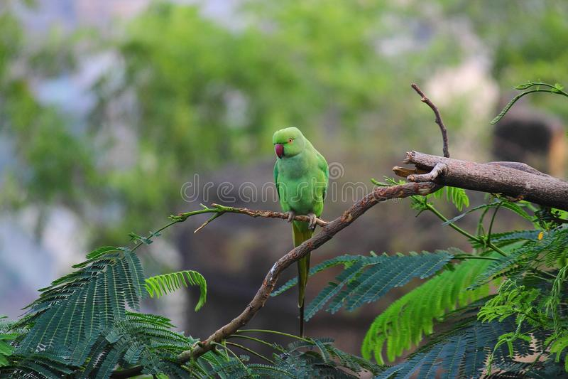 Picada do pássaro do papagaio na árvore foto de stock