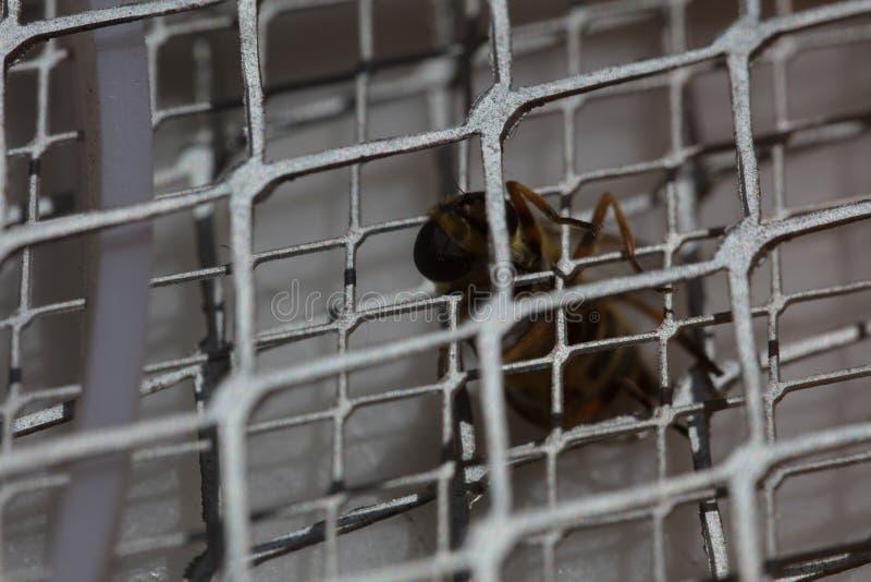 Picadura de abeja macra fotos de archivo