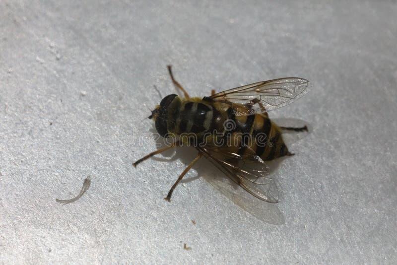Picadura de abeja macra foto de archivo