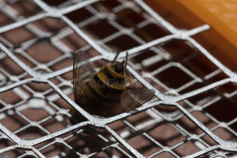 Picadura de abeja macra fotografía de archivo