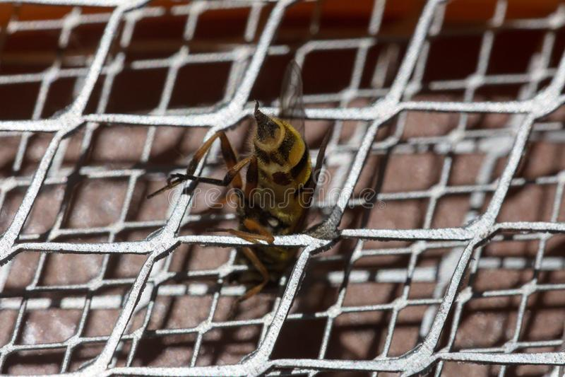 Picadura de abeja macra fotografía de archivo libre de regalías