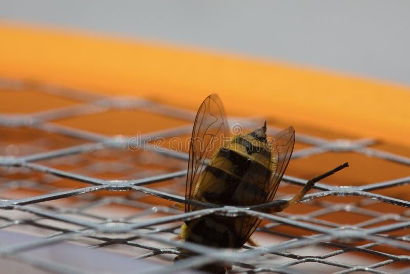 Picadura de abeja macra fotos de archivo libres de regalías