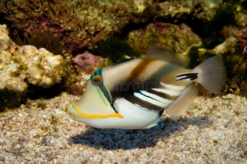 Picasso oder Humu Humu Triggerfish lizenzfreie stockfotografie